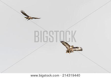 Pair of buzzards (Buteo buteo) attacking juvenile intruder. Territorial birds of prey engaging unwelcome trespasser in flight near Bath Somerset UK