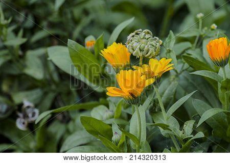 Medicinal herbs: Yellow flowers and seeds of marigold (Calendula officinalis)