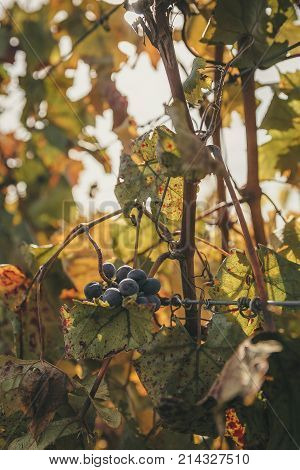 The sun shines on a cluster of wine grapes in a vineyard.