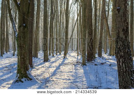 Young hornbeam tree stand in winter in morning sun over snow, Bialowieza Forest, Poland, Europe