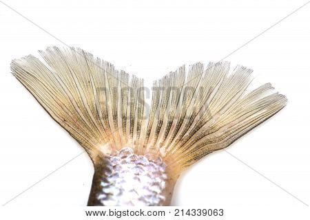 fish tail on a white background . Photos in the studio