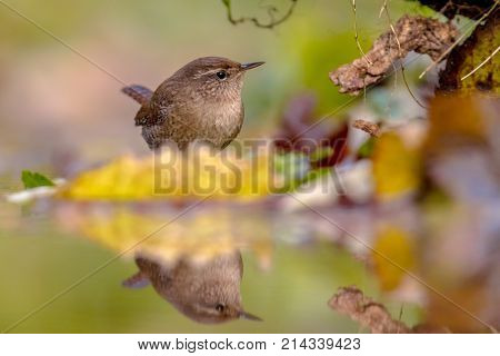 Eurasian Wren Autumn Colored Leaves