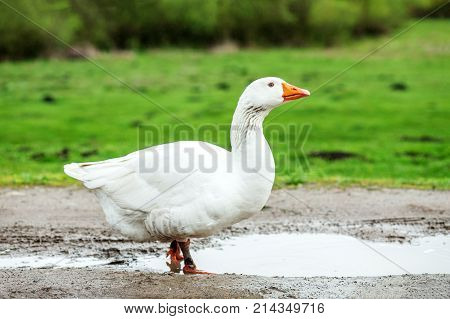 White Domestic Goose Walking On Water. The Concept Is A Poultry