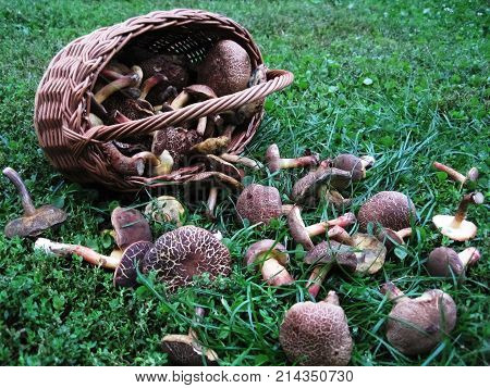 Freshly picked boletus mushroom overturned from wicker basket
