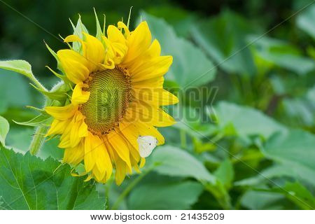 Lonely sunflower in the field