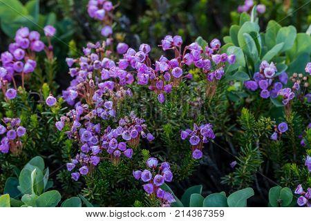 Pink Mountain Heath Wildflowers Bloom