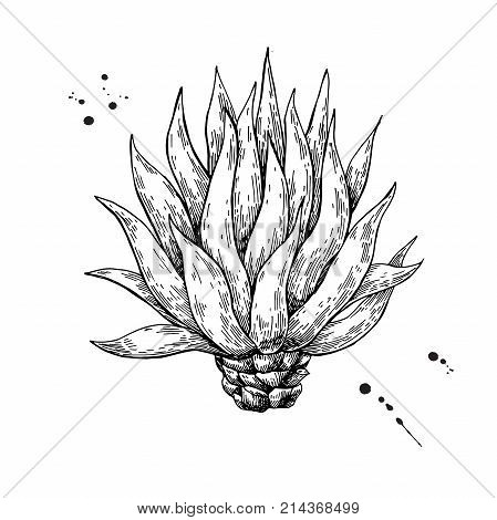 Blue agave. Tequila ingredient vector drawing. Engraving illustration of mexican plant. Botanical sketch for label, poster, banner.
