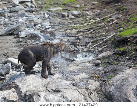 A brown bear shaking the water out of its fur poster