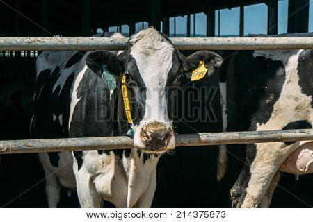 Sad cow in cowshed on dairy farm looking at camera, livestock milking cow concept
