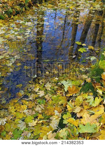 Huge puddle carpet-covered fallen yellow leaves the blue sky and brown tree trunks reflect on the surface of the water.