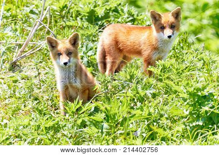 Kuril Islands, Onekotan. A pair of curious fox cubs in a natural habitat