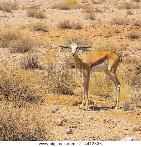 A sub adult springbok in Augrabies Falls National Park.
