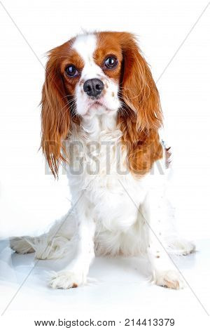 Beautiful friendly cavalier king charles spaniel dog. Purebred canine trained dog puppy. Blenheim spaniel dog puppy. Cute dog.