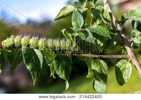 Imperial Moth caterpillar on a branch / Selective focus green caterpillar on branch