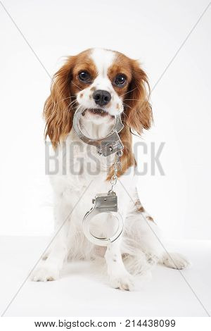 Good Cavalier Canine Adorable Dog - 214438099  Snapshot_94650  .jpg