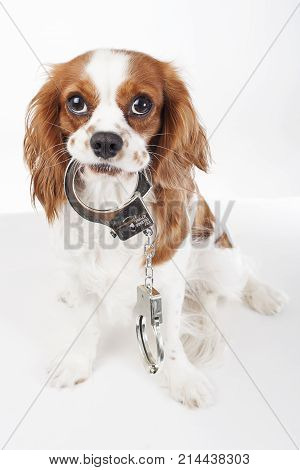 Dog with handcuffs. Cavalier king charles spaniel in studio illustrate crime. Illustration against animal cruelty. Blenheim dog hold handcuffs. Cute.Beautiful friendly cavalier king charles spaniel dog. Purebred canine trained dog puppy. Blenheim spaniel