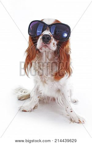 Funny dog with sunglasses. Summer edition. Cavalier king charles spaniel dog photo. Beautiful cute cavalier puppy dog on isolated white studio background. Trained pet photos for every concept. Photo