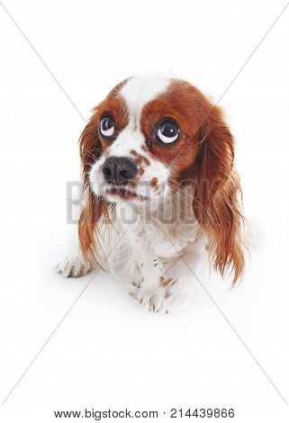 Scared dog. Cavalier king charles spaniel puppy studio photo. Scared or guilty face. King charles spaniel photography. Animal pet trained dog photos. Shy afraid scared dog face. Photo. poster