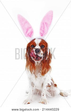Easter dog concept. Funny easter puppy pet photo. Cavalier king charles spaniel dog photo. Beautiful cute cavalier puppy dog on isolated white studio background. Trained pet photos for every concept. Photo