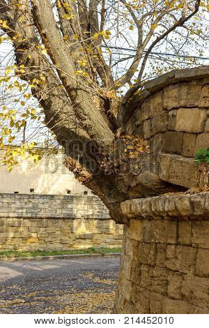 The tree grew from a brick wall. Perseverance and power of life concept. Powerful tree. power concept.