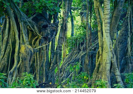 Scenic view of beautiful tropical forest with Indian banyan in Ranthambore national park, India