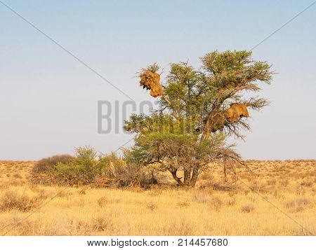 The communal nests of Sociable Weaver birds in a camelthorn tree in the Kgalagadi Transfrontier Park straddling South Africa and Botswana.