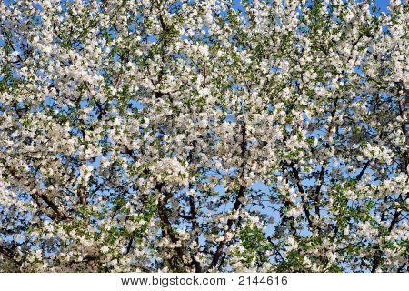 White Blossom Cherry