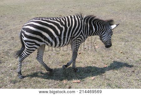 Grevy's zebra (Equus grevyi), sometimes also said to be the imperial zebra.
