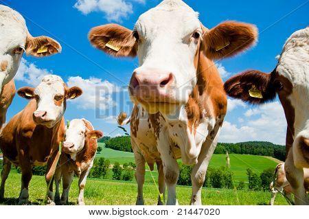 Vacas Simmental