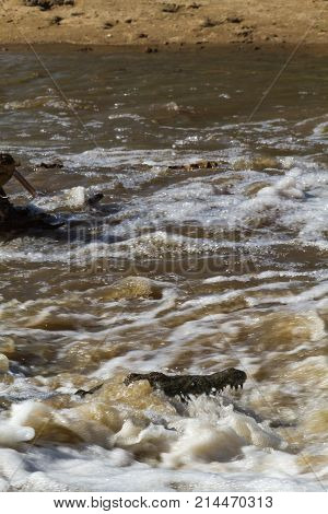 Nile crocodile. An ambush in the water. Serengeti, Africa poster