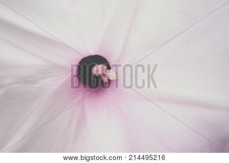 Flower (morning Glory Tree Flower, Convolvulaceae)