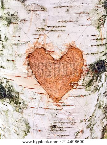 Heart carved on the bark of a birch close up