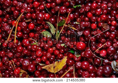 Cowberry Cranberry Texture