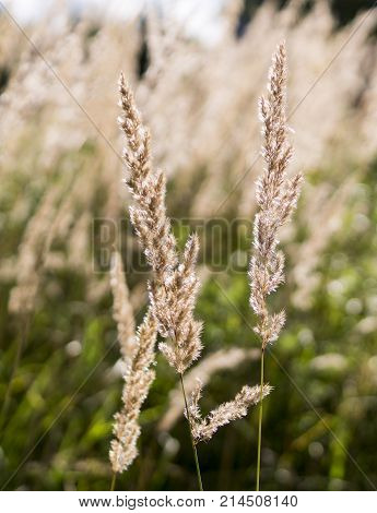spica at summer field. floral closeup background