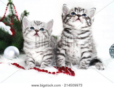 Two kitten thoroughbred in christmas. Scottish, British kittens are striped