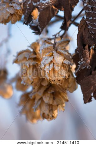 Dry hops covered with snow and hoarfrost in winter closeup