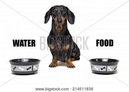 dog of breed dachshund black and tan sitting between two empty bowls with the inscriptions ''food '' and ''water''. food needs of a dog