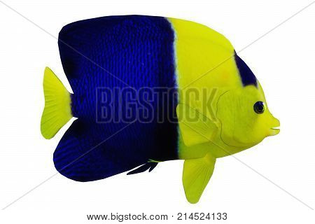 Bicolor Angelfish 3d illustration - The Bicolor Angelfish is a saltwater species reef fish in tropical regions of major oceans.