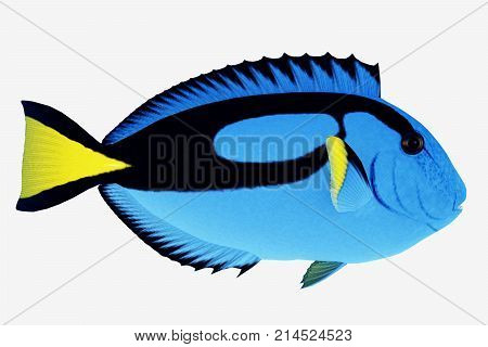 Blue Tang Fish 3d illustration - The Blue Tang Fish is a saltwater species reef fish in tropical regions of Indo-Pacific oceans and eat plankton and algae.