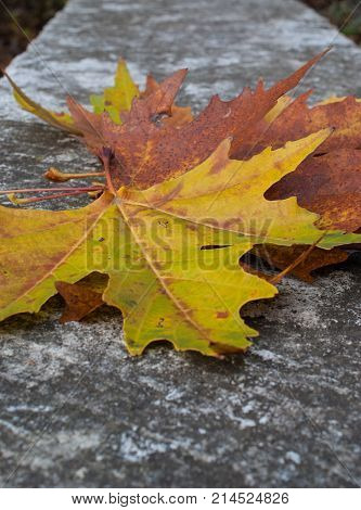 Colorful maple leaves on the pavement, yellow leaves, green leaves, brown leaves, autumn leaves lie on the ground, falling leaves in autumn.