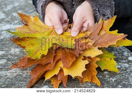 Colorful maple leaves in the hands, yellow leaves, green leaves, brown leaves, a bouquet of autumn maple leaves in hand, leaves on a gray background