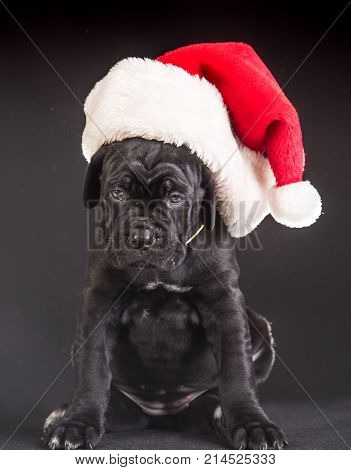 santa Cane corso puppy at Christmas in hat. Year of dog holiday celebration. pet present and winter party. New year cute puppy on grey background. Pet and animal dog year gift.