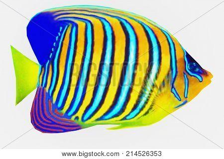 Regal Angelfish 3d illustration - The Regal Angelfish is a saltwater species reef fish in tropical regions of Indo-Pacific oceans.