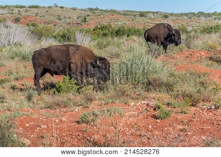 Bison roaming free in Caprock Canyons in Texas on a warm sunny day.