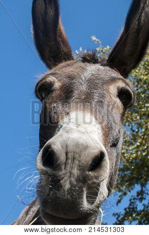 Head of donkey closeup against blue sky background