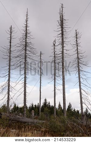 Bald trees after bark beetle infestation in the Bavarian Forest - Dreisesselberg
