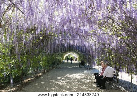 Adelaide South Australia Australia - October 8 2017: People enjoying the shade of the Wisteria arbour in full bloom at the Adelaide Botanic Garden