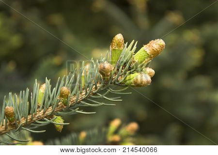 Branches of spruce with growing young spring buds. Young buds grow from a twig of coniferous tree. Young buds and young cones grow out of a twig of coniferous tree.