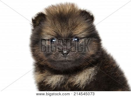 Close-up Of Pomeranian Spitz Puppy.