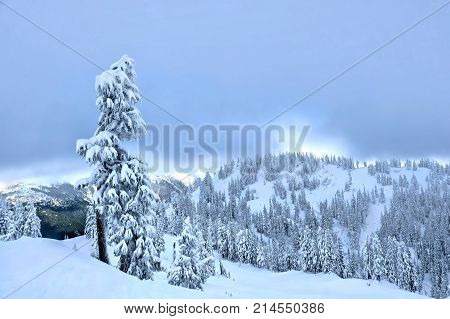 Trees covered with snow. Mount Rainier National Park. Paradise Valley in winter after snowfall. Seattle. WA. United States.